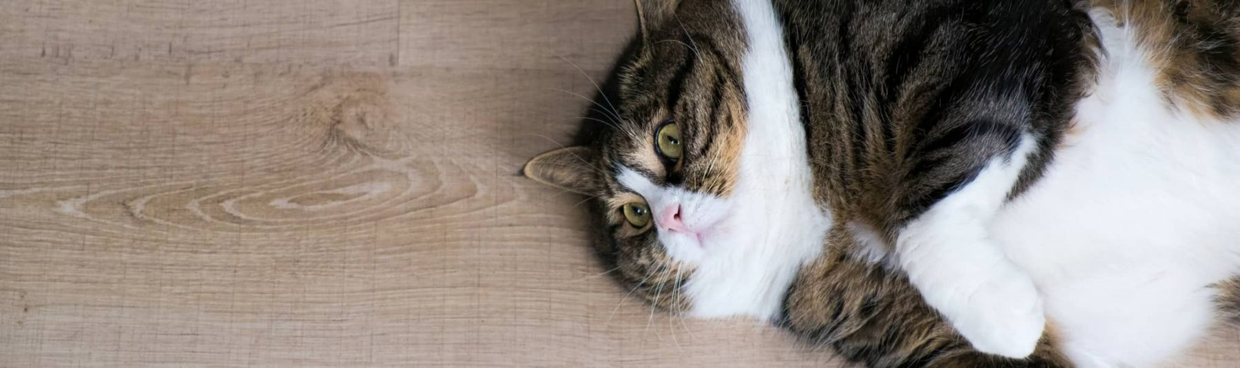 overweight-cat