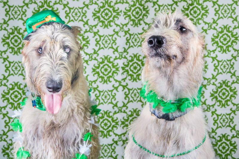 Irish Pup