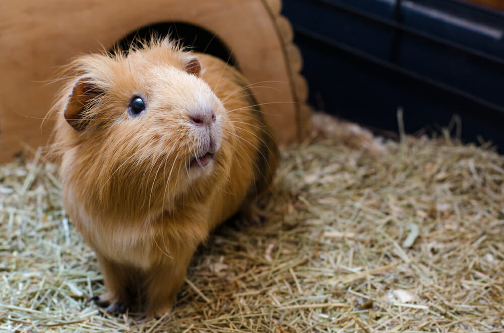 Brown guinea pig standing on hay