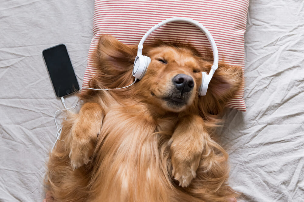 A dog lying in bed, wearing headphones and listening to music