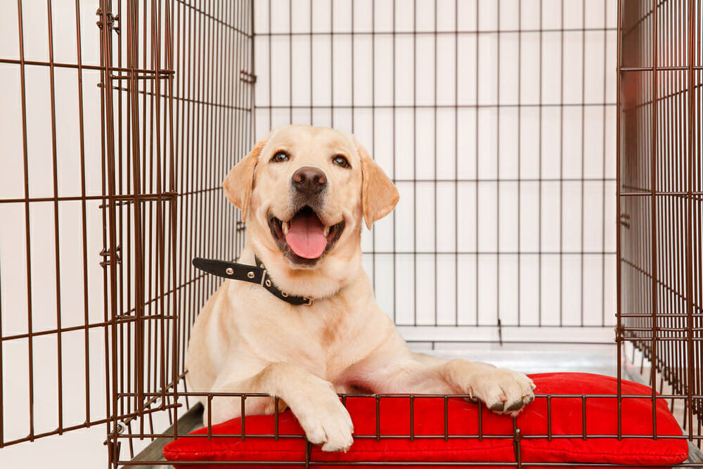 Labrador Retriever puppy in a crate